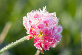 Pink flower of a clover is covered with hoarfrost — Stock Photo