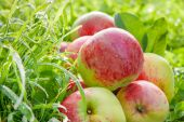 Fruit red apples on a  green grass — Stock Photo