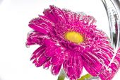 Red flower of a gerbera on a white background — Stock Photo