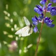 White butterfly sits on flowers on meadow — Stock Photo #63258385