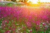Paisaje de verano con flores en un prado y una puesta de sol — Foto de Stock