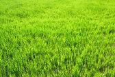 Achtergrond van een groen gras in het veld — Stockfoto
