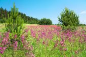 Rural  landscape with the blossoming pink flowers on a meadow — Stock Photo