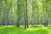 白樺の森と太陽と夏の風景 — ストック写真