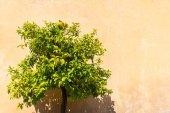 Orange tree in the Roman Forum — Stock fotografie