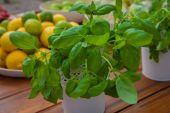 Ecological organic basil herbs — Stock Photo