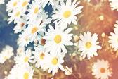 White daisy flower — Stock Photo