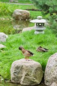 Ducks at a pond in the Japanese style — Stock Photo