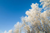 The tops of trees covered with hoarfrost against the blue sky — Fotografia Stock