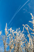 The tops of trees covered with hoarfrost against the blue sky — Stock Photo