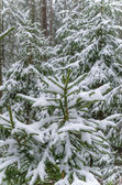 Spruce covered with snow in winter forest — Fotografia Stock
