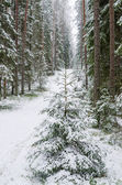 Spruce covered with snow in winter forest — Stock Photo