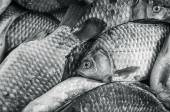 Bream close-up. Black and white photo, toning — Stock Photo