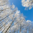 Tops of trees covered with hoarfrost against sky — Stock Photo #71681507
