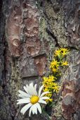 Spring flowers on the old bark — Stock Photo