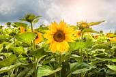 Field with bright yellow sunflowers — Stock Photo
