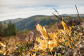 Yellow plants in the mountains — Stock Photo