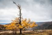 Yellow larch tree in the mountains. Autumn landscape — Stock Photo