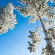 Hoarfrost on the pines in winter forest — Stock Photo #66205397