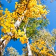 Birch trees with yellow leaves in autumn forest against the blue — Stock Photo #77897076