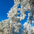 Winter forest with snow-covered pines — Stock Photo #78598506