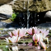 Lotus flowers in the pond — Stock Photo