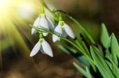 Snowdrops close up view — Stock Photo
