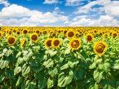 Hermoso campo de girasol — Foto de Stock