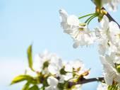 Cherry flower blossom — Stock Photo
