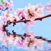 Včela na broskvový květ — Stock fotografie