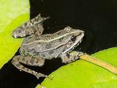 在一朵莲花上的青蛙 — 图库照片