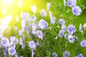 Little blue flowers — Stock Photo