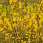 Yellow, autumn, aspen leaf — Stock Photo #71269569