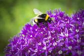 Bumblebee — Stock fotografie