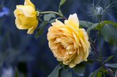 Beautiful yellow  rose. — Stock Photo
