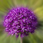 Purple garlic flowers — Stock Photo #74415941