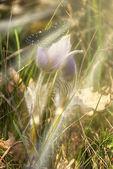 Wild purple flower under the sun beam  — Stock Photo