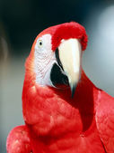 Parrot - Red Macaw — Stock Photo