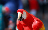 Parrot - Red Blue Macaw Speaking — Stock Photo