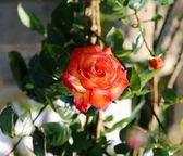 Rose in the garden — Fotografia Stock