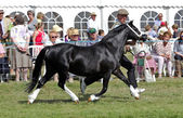 Small horse competition — Stock Photo