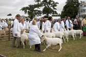 Sheep competition — Stockfoto