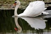 Swan on water — Stock Photo