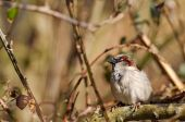 Common House Sparrow — Stock Photo