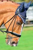 Chestnut dressage horse with blue cap in portrait aspect — Stock Photo