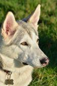White Husky Dog — Foto de Stock