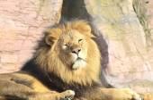 Mannetjes leeuw liggend — Stockfoto