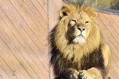 Proud lion lying down — Foto de Stock