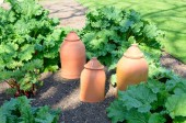 Rhubarb with forcing pots — Stock Photo