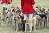 Foxhounds with hunter on foot — Stock Photo